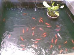 kolam ikan ikan mas