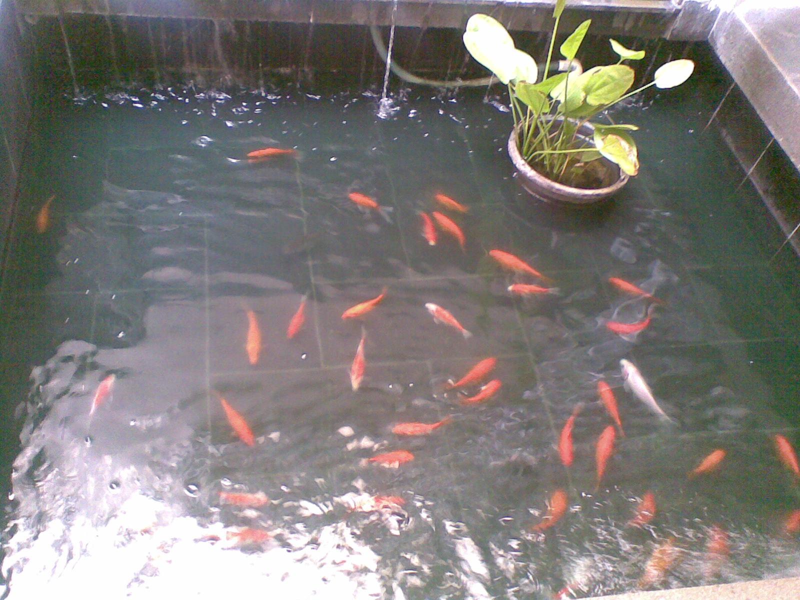 kolam ikan sederhana to give to share