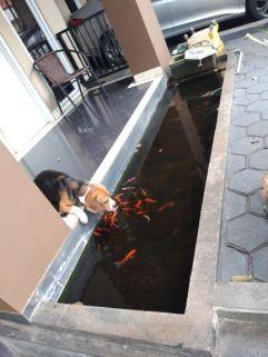 ikannya jinak semua